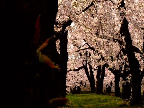 The sakura cherry blossoms